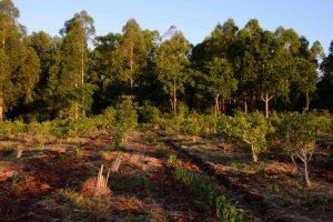 Cultivo agroecológico de Yerba Mate en Misiones